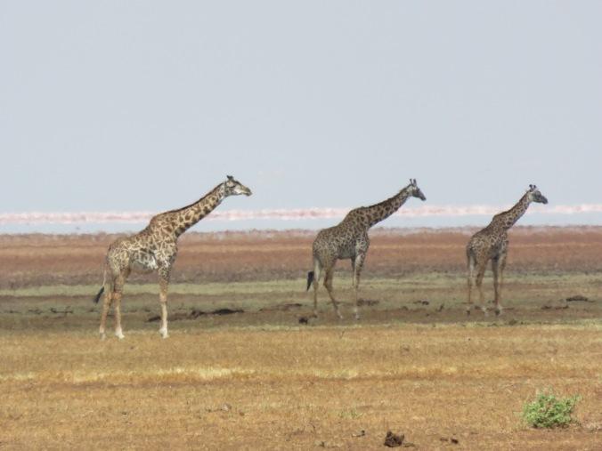 A few giraffes (twiga)